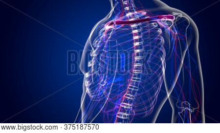 Human Skeleton Anatomy Clavicle Bones 3d Rendering For Medical Concept