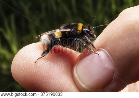 Bumblebee On Humans Hand. Macro Photo Of Bumblebee. Close Up Shot Of The Insect.