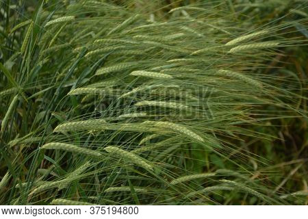 Close Up Of Green Ear Of Barley In The Fields.(hordeum)