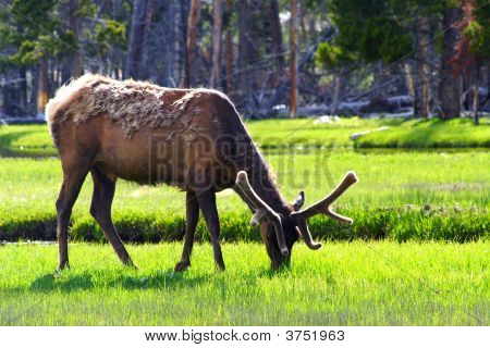 Eating elk by river in yellowstone national park poster