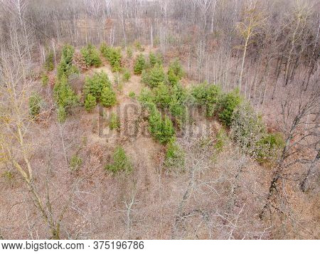 Young Pine Trees Surrounded By Leafless Trees In The Forest, Aerial View. Spring Forest.