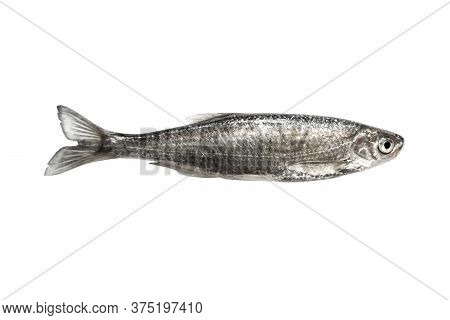 Fresh Fish Isolated On A White Background. Fresh Wild Freshwater Fish Isolated Over White With Clipp