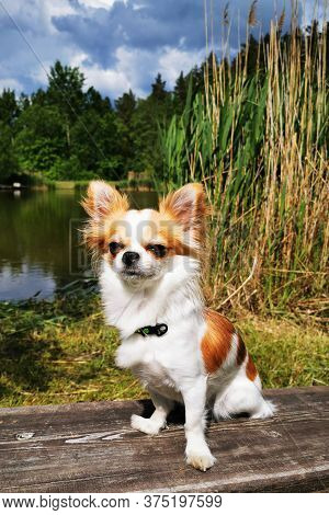 Chihuahua Is Resting In The Park With Lake
