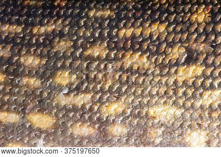 Macro Shot Of Northern Pike Skin. Pike Skin Background. Fishing Camouflage Background Of Pike Fish S