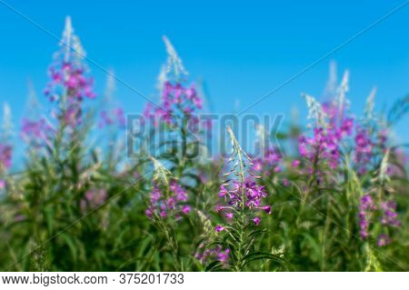 Pink Thickets Of Ivan Tea At The Beginning Of Flowering Against A Blue Clear Sky. Natural Background