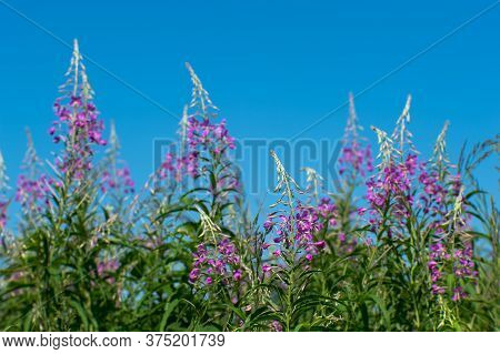 Pink Flowers Of Ivan Tea On The Background Of A Blue Clear Sky.