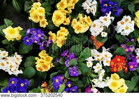 Pansy Flowers As Very Nice Color Background