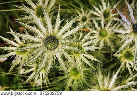 Sea Holly, Eryngium Flower