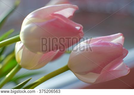 Bouquet Of White And Pink Tulips. Spring Bulbous Flowers. Tulips Close-up. Bokeh. Soft Focus