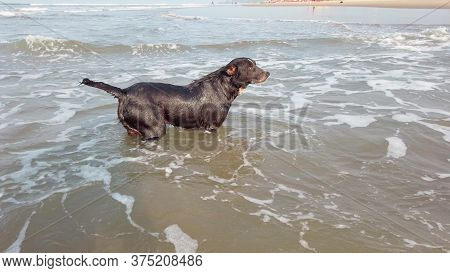 A Big Dog In The Sea. The Animal Frolics In The Water.