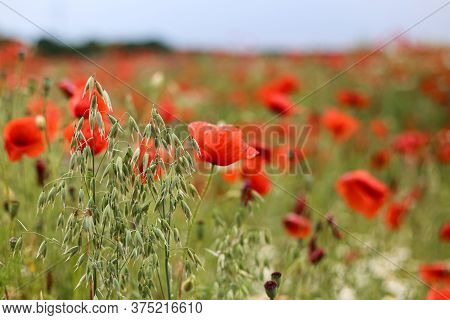 Green And Red Beautiful Poppy Flower Field Background
