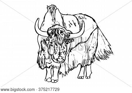 Yak Isolated On White Background. Hand Draw Taurus Sketch. Antique Engraving Of Highland Cattle. Far