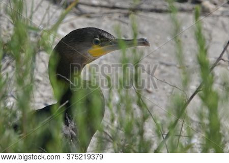 Great Cormorant Phalacrocorax Carbo On Black Sea Beach