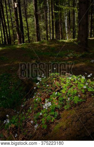 Common Wood Sorrel Blossom Oxalis Acetosella In Summer Forest