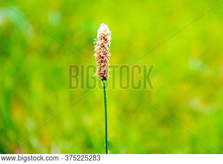 Inflorescence, Flower Head, Of Mediterranean Hares Foot Plantain Plantago Lagopus, At Side Of Path A