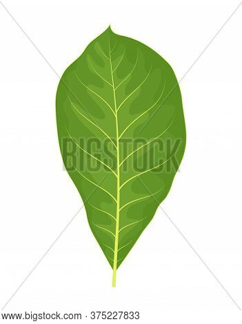 Vector Colorful Illustration Of Walnut Leaf Isolated On White Background