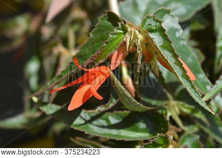 Begonia Bonfire Flower - Latin Name - Begonia Boliviensis Bonfire