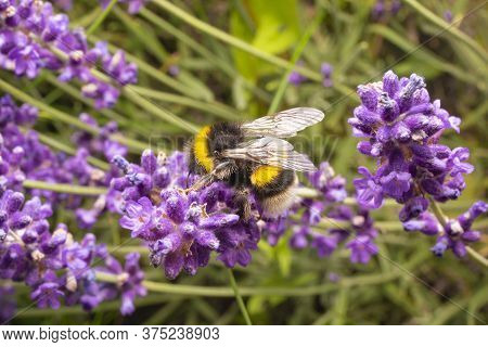 Bumblebee On Purple Flowers. Macro Photo Of Bumblebee On Lavender. Close Up Shot Of The Insect.