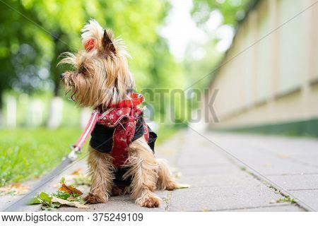 Yorkshire Terrier Walks On A Leash.yorkshire Terrier Walks On A Leash