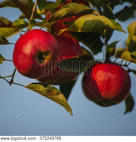 Red Ripe Apples Hang On A Branch Against The Sky. Autumn Harvest.