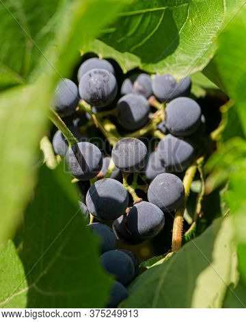 Bunch Of Wine Grapes And Green Foliage Outdoors. Cooking Food. Ukraine. Europe.