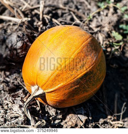 One Pumpkin Lies On A Field Outdoors On A Sunny Day. Autumn Harvest.