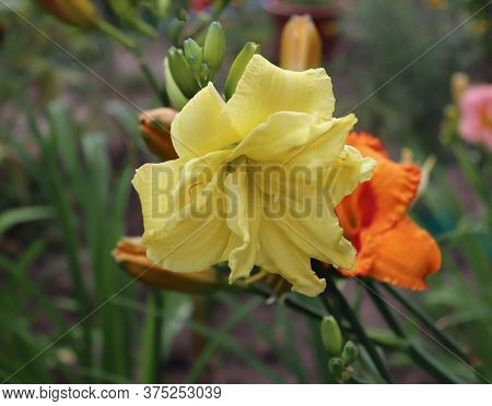 Double River Wye. Luxury Flower Daylily , Hemerocallis In The Garden, Close-up.edible Flower. Daylil