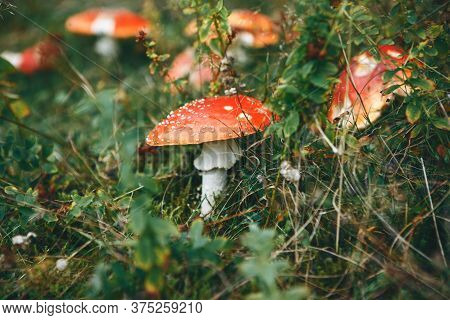 Inedible Mushrooms Amanita Grow In The Forest.