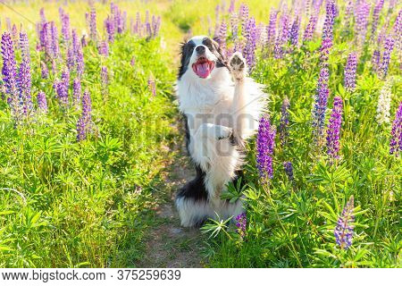 Outdoor Portrait Of Cute Smiling Puppy Border Collie Sitting On Grass Violet Flower Background. Funn