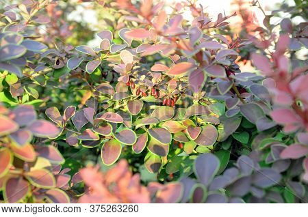 Purple Background From The Leaves Of Japanese Barberry Barberry Thunbergii, Thunbergs Barberry, Red