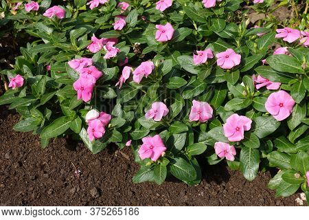 Florescence Of Pink Catharanthus Roseus In Mid September
