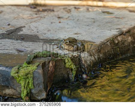 Amphibian River Frog Sits In The Morning On The River Bank In The Golan Heights, In Northern Israel