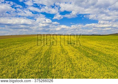 Yellow Canola Field (rape Seed) In Sunlight During Springtime