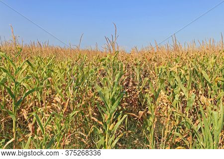 Maize Field Corn Plants Ready For Harvest