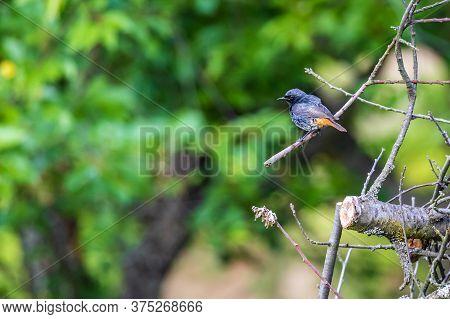 Black Redstart (phoenicurus Ochruros) In The Garden
