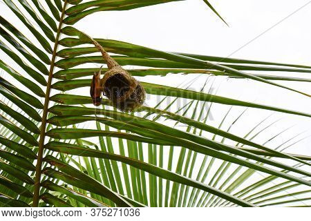 A Weaver Bird & Nest Isolated On The Palm Tree Leaf Its Nest-building Tying Knots Makes The Nest Mor