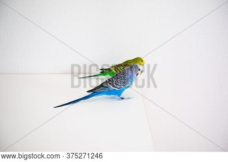 The Pair Of Parakeets Melopsittacus Undulatus Are Sitting On The White Table