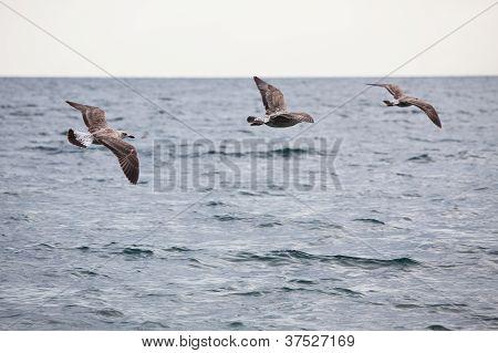 Flock Of Three Seagulls