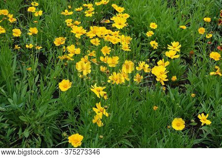 Florescence Of Coreopsis Lanceolata In Early June