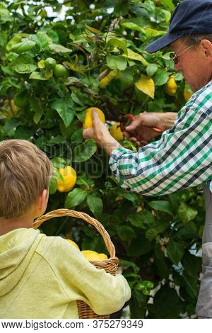 Senior Farmer With Young Boy Harvesting Lemons From The Tree