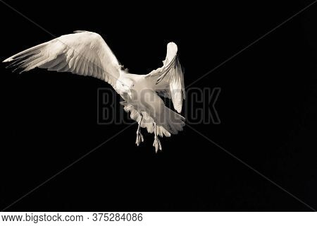 Confident Bird Leader. Seagull Looking At The Camera. Seagull On A Black Background. Spread Wings. B