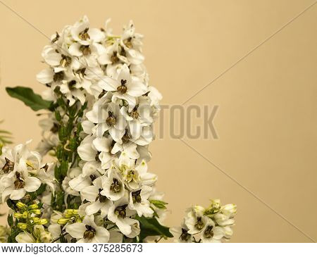 Flower Delphinium At Year Term Of Time For Light Background. The Poisonous Plant With White Petal. D