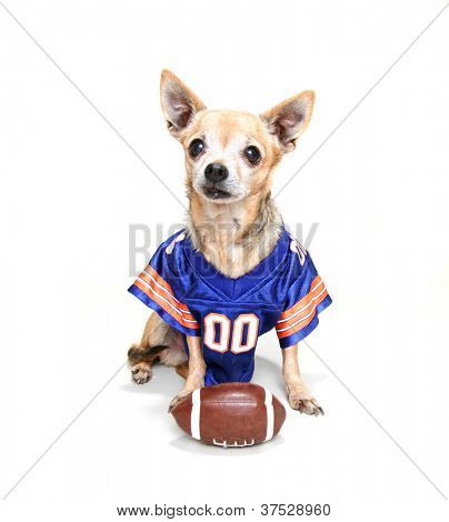 a tiny chihuahua in a football uniform poster