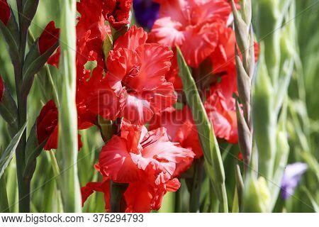 Gladiolus , Sword Lily,orange Gladiolus Flower. Image Of The Beautiful Summer Flowering Vibrant Red