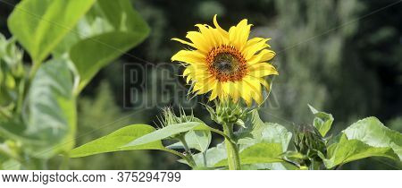Sunflower In The Warm Sunlight. Sunflower Natural Background. Sunflower Blooming. Close-up Of Sunflo
