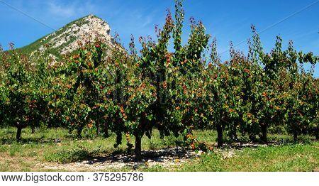 apricot tree with delicious bio apricot