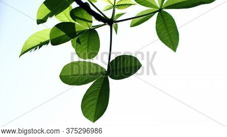 The Leaf Of The Adansonia Digitata Baobab Tree On A Isolated White Background
