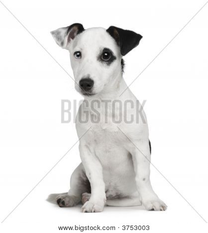puppy Jack russell (5 months) in front of a white background poster
