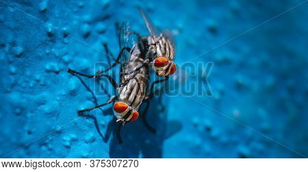 Housefly Mating Eye Focus Close Up Macro Shot. Mate Housefly Is A Fly Of The Suborder Cyclorrhapha,