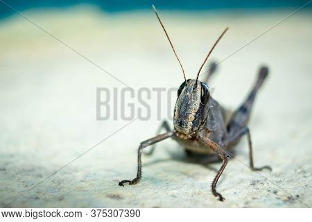 Migratory Locust, Locust, Locusta Migratoria. Grasshopper (locust) Isolated On White Background. Loc